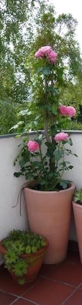 http://irenajarocka.pl/webdocs/image/2016/KG/balkonowa-roza.jpg